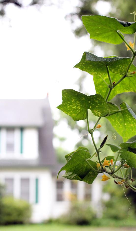 cucumber-vine-honestfare.com